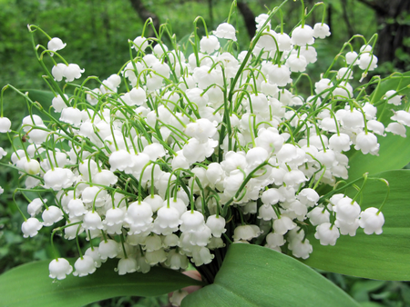 white lily of the valley flowers bouquet floral background Stock Photo