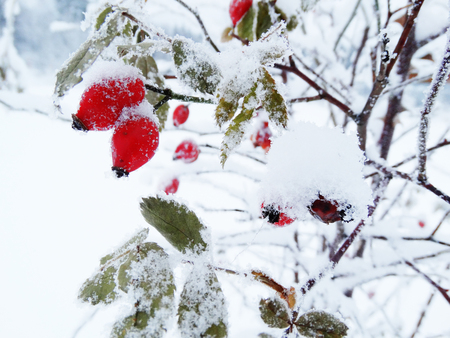 christmas fruit frozen hawthorn berries in snow on branch