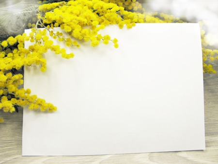 mimosa yellow flowers bush floral spring background 8 march greeting card