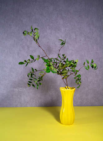 Dried branch of pistachio in a yellow vase. 版權商用圖片