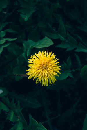 Yellow dandelion has blossomed against a background of green leaves and grass Standard-Bild