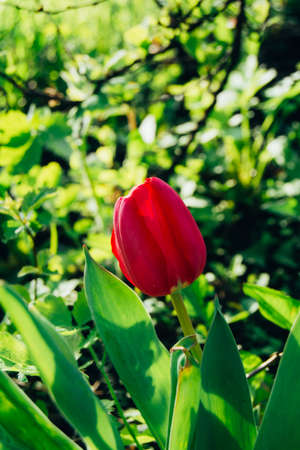 Beautiful pink tulip blossomed on a sunny day
