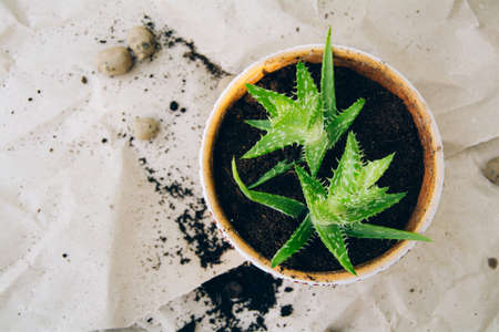 Growing a plant in a pot, planting a succulent. Hobby and gardening concept