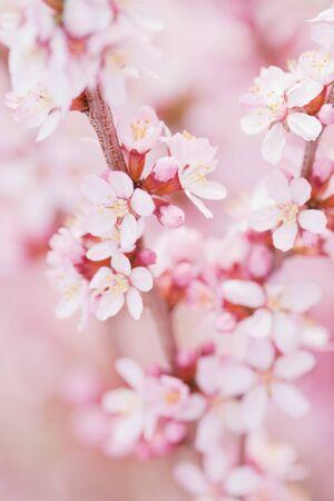 almond tree: fresh almond flowers