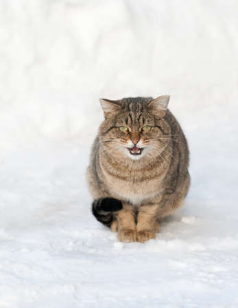 miaul: brown cat is sitting on the white snow