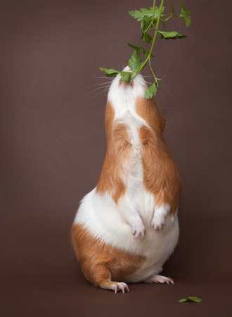 foots: guinea-pig is eating verdure stand on back foots on the brown background