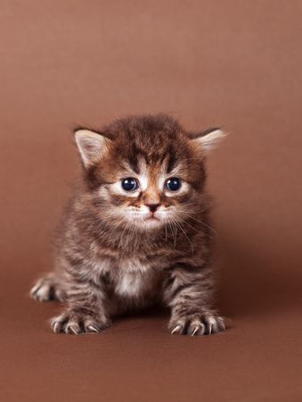 little fluffy kitten on brown background Foto de archivo
