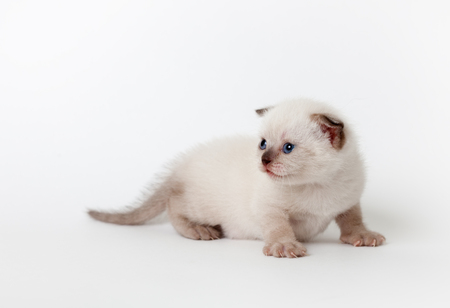 little fluffy light kitten is licking on light background