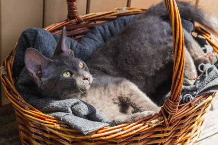 a gray Sphinx cat is lying in a wicker basket in the sun