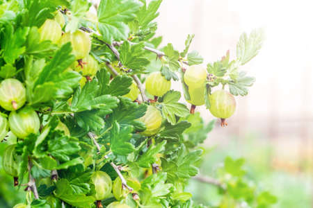 gooseberry berry hangs on a branch under the leaves.