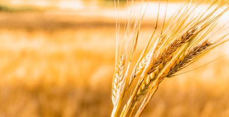 a field of rye, ears of wheat swaying in the wind Banco de Imagens
