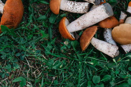 on the green grass are fresh edible mushrooms boroviki. there is space for text. the view from the top 版權商用圖片