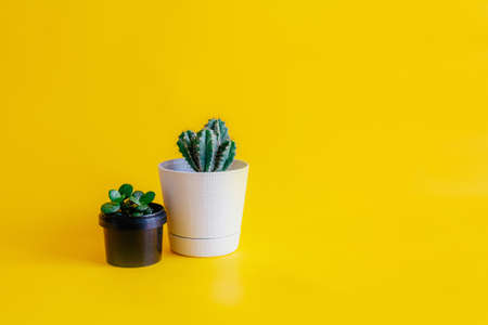 green cactus growing in a White pot, indoor plant green succulent in a black pot stand on a yellow uniform background, isolated, front view, copy space