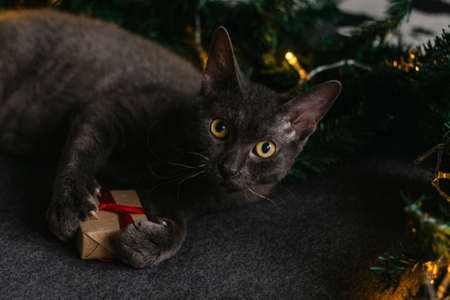 gray cat lying next to fir branches and a gift - the concept of a cozy home for Christmas. Stock Photo