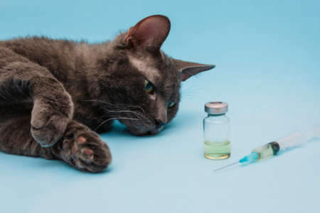 A gray cat lies on a blue background next to a syringe and a bottle of medicine. The concept of treatment or vaccination of pets photo, veterinary clinic. Front view. Selective Focus.