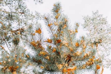 Orange birch leaves are stuck between the needles on a pine branch. Autumn leaves. selective focus.