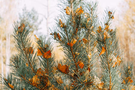 Orange birch leaves are stuck between the needles on a pine branch. Autumn leaves. selective focus. Stockfoto