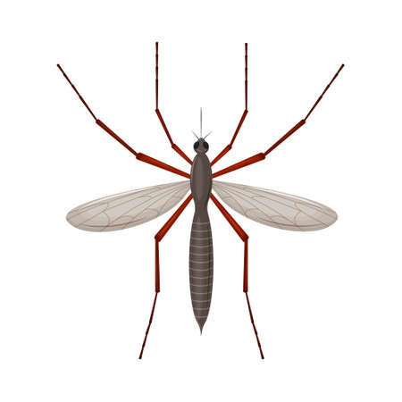 The mosquito is a blood-sucking insect. Top view. Detailed vector illustration isolated on a white background.