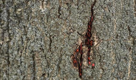 Pyrrhocoris apterus or Bedbugs-soldiers on a tree, red-black bug.  Animals wildlife.