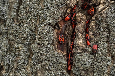 Pyrrhocoris apterus or Bedbugs-soldiers on a tree, red-black bug .  Animals wildlife.