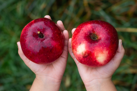Child's hands holding an apple on red background. Autumn garden, gather harvest at farm, agricultural concept. Closeup of organic fruits.