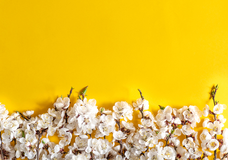 Festive background for spring holidays. Spring flowers on color background. Apricot blossom . Top view. Apricot blossom on a color background. Spring concept