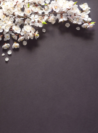 Festive background for spring holidays. Spring flowers on black background. Apricot blossom . Top view. Apricot blossom on a color background. Spring concept
