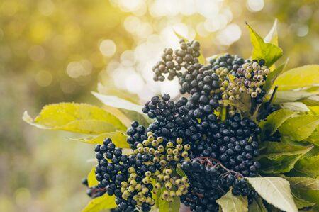 Klastry owoców czarnego bzu w ogrodzie w świetle słonecznym (Sambucus nigra). starszy, czarny bez, europejskie czarne tło z czarnego bzu