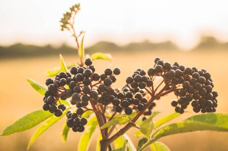 Clusters fruit black elderberry in garden in sun light (Sambucus nigra). elder, black elder, European black elderberry background