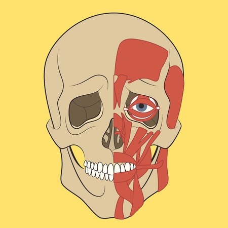 biology instruction: Muscle of faces. Vector illustration of human head anatomy. Medical illustration.