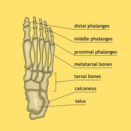 Ilustración del vector de los huesos del pie con la explicación. parte esqueleto de diseño médico o profesional de la salud. guía de la anatomía del pie humano esquelético. Ilustración de vector