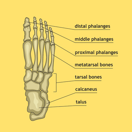 Vector illustration of foot bones with explanation. Skeleton part for medical or health care design. Anatomy guide skeletal human foot.