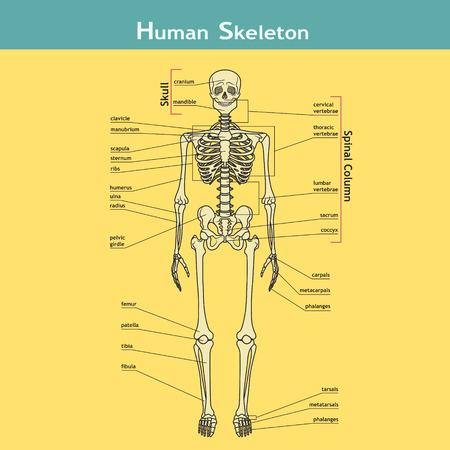 Menschlicher Körper Anatomie - Skelett Lizenzfrei Nutzbare ...
