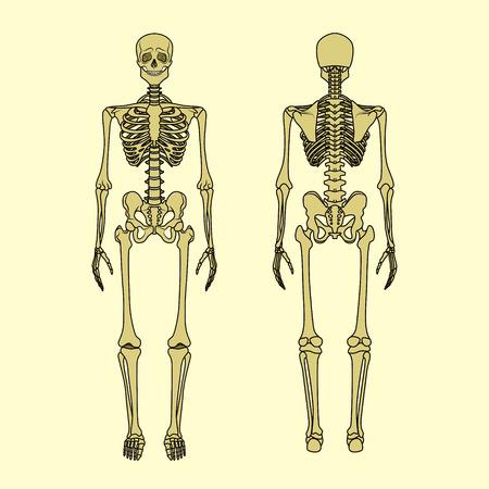 Anatomía Femenina De La Pelvis ósea Ilustraciones Vectoriales, Clip ...