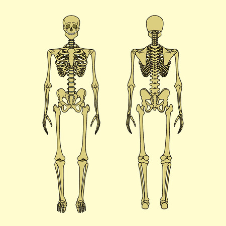 sternum: Human skeleton, front and rear view. Didactic board of anatomy of human bony system. Vector illustration. Main parts of the skeletal system.