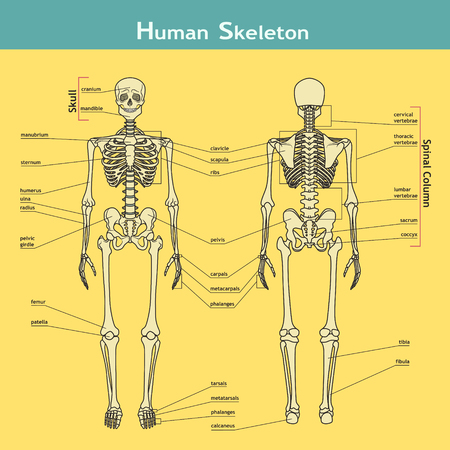 Vector illustration of human skeleton. Didactic board of anatomy of human bony system. Illustration of skeletal system with labels. A diagram of the main parts of the skeletal system. Illustration