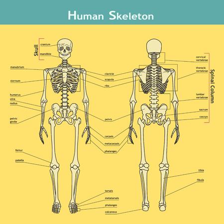 Vector illustratie van menselijk skelet. Didactische boord van de anatomie van het menselijk bot-systeem. Illustratie van skelet met labels. Een diagram van de belangrijkste delen van het skelet.