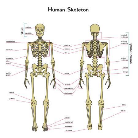 Ilustración del vector del esqueleto humano. tablero de didáctica de la anatomía del sistema óseo humano. Ilustración del sistema esquelético con etiquetas. Un diagrama de las partes principales del sistema esquelético.