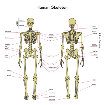 Vector illustration of human skeleton. Didactic board of anatomy of human bony system. Illustration of skeletal system with labels. A diagram of the main parts of the skeletal system.
