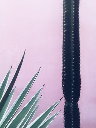 Cactus and agave plant at pink wall background