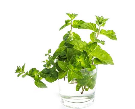 melissa: Fresh green leaf of melissa on white background. Stock Photo