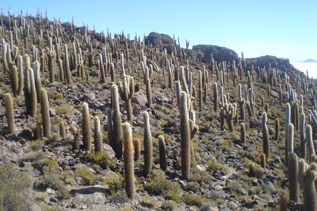 bolivia: Giant Cactus, Bolivia Stock Photo