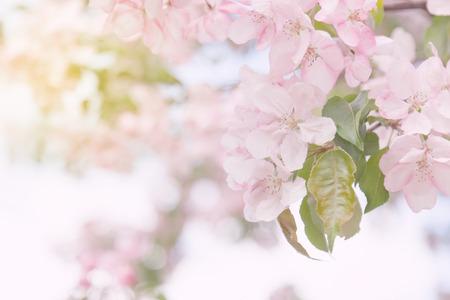 beautiful tender spring blooming apple tree. toned image