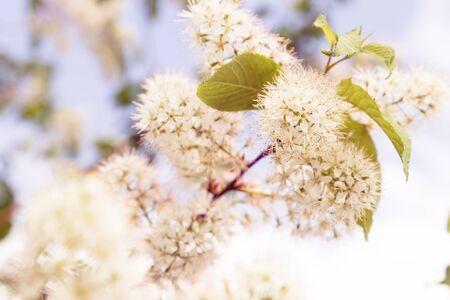 tender: beautiful tender spring blooming tree. toned image
