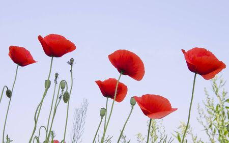 Red poppies against the blue sky photo
