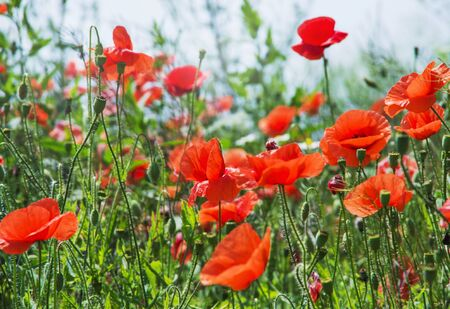 red poppies on green field Banco de Imagens - 40069532