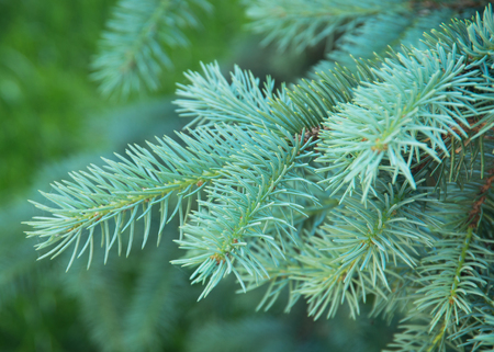 Blue spruce branches on a green background photo