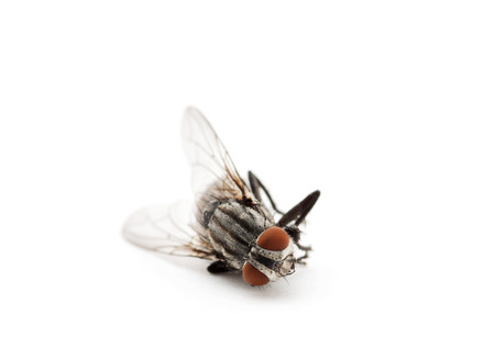 white fly: dead fly isolated on a white background Stock Photo