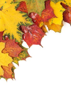 hojas antiguas: arce del oto�o las hojas aisladas sobre fondo blanco Foto de archivo