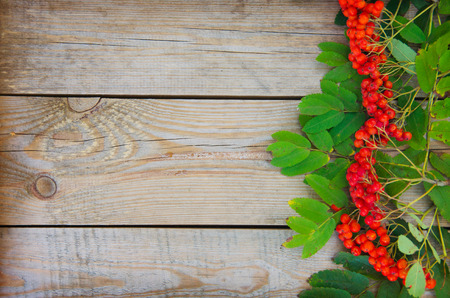 fascicle: ashberry on wooden background Stock Photo